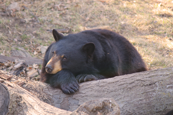 Black-Bear-Cupcakes-Pete