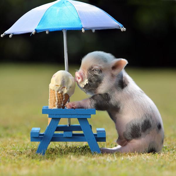 Pig-Ice-Cream-HiRes-1