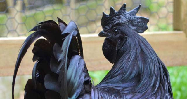 Black-Chicken-Rare