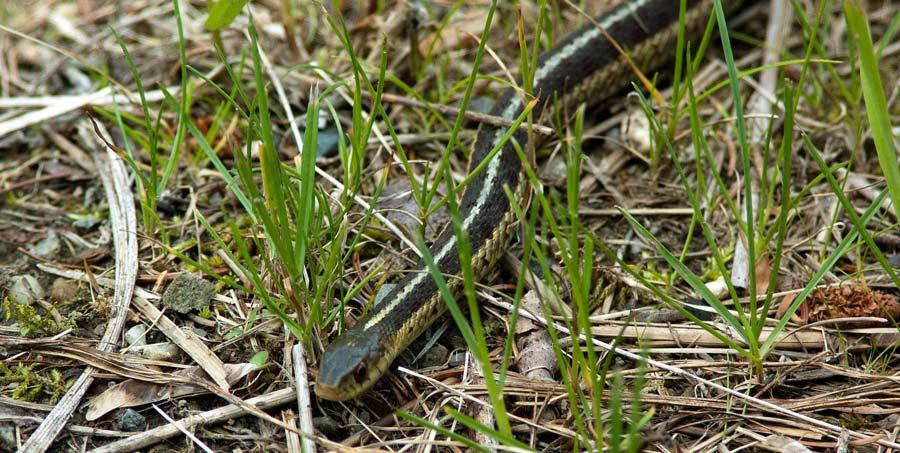 Tim-Hortons-Snake