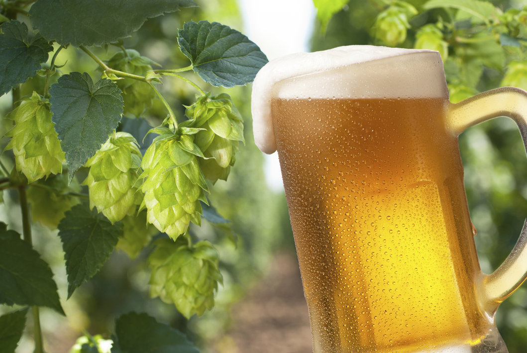 Beer Hops May Prevent Alzheimer U0026 39 S  Study Shows