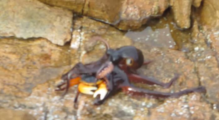 Chilling Video of an Octopus Vaulting Himself onto Land and Devouring a Crab [Watch]