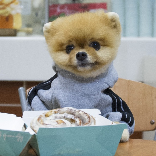 Here S Why Jiff The Pomeranian Is The Cutest Foodie In The