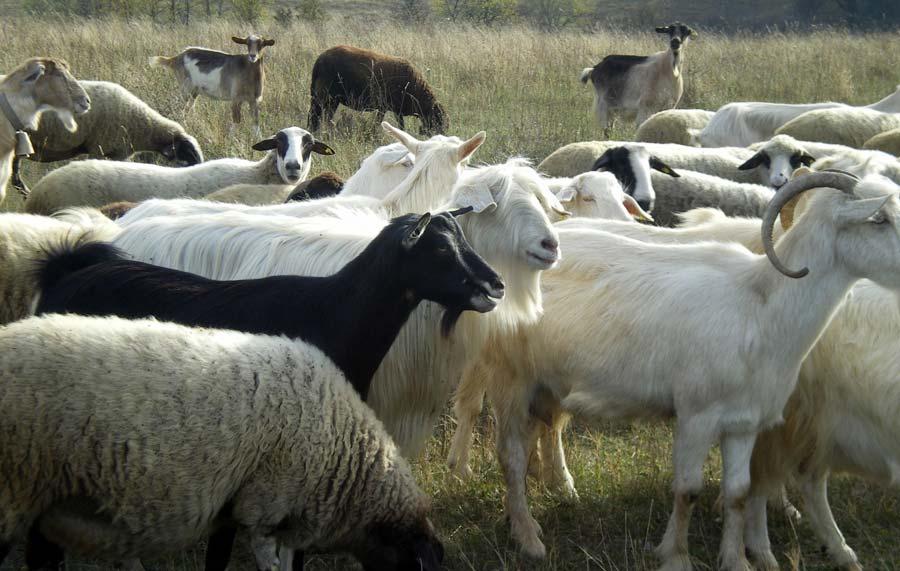 Goat-Cheese-Farm
