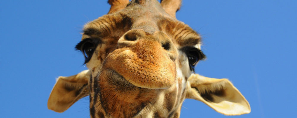 Giraffes Africa\u0027s Venison, Eaten to Oblivion