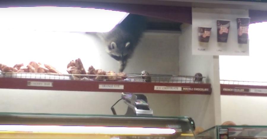Raccoon-Donut