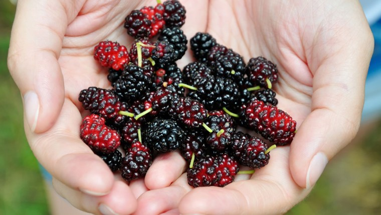 mulberries-to-prevent-cancer-760x428