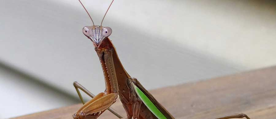 PRAYING-MANTIS-1B