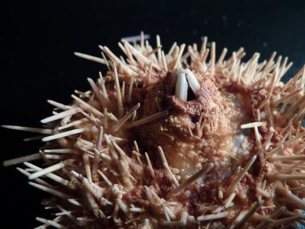 sea-urchin-mouth