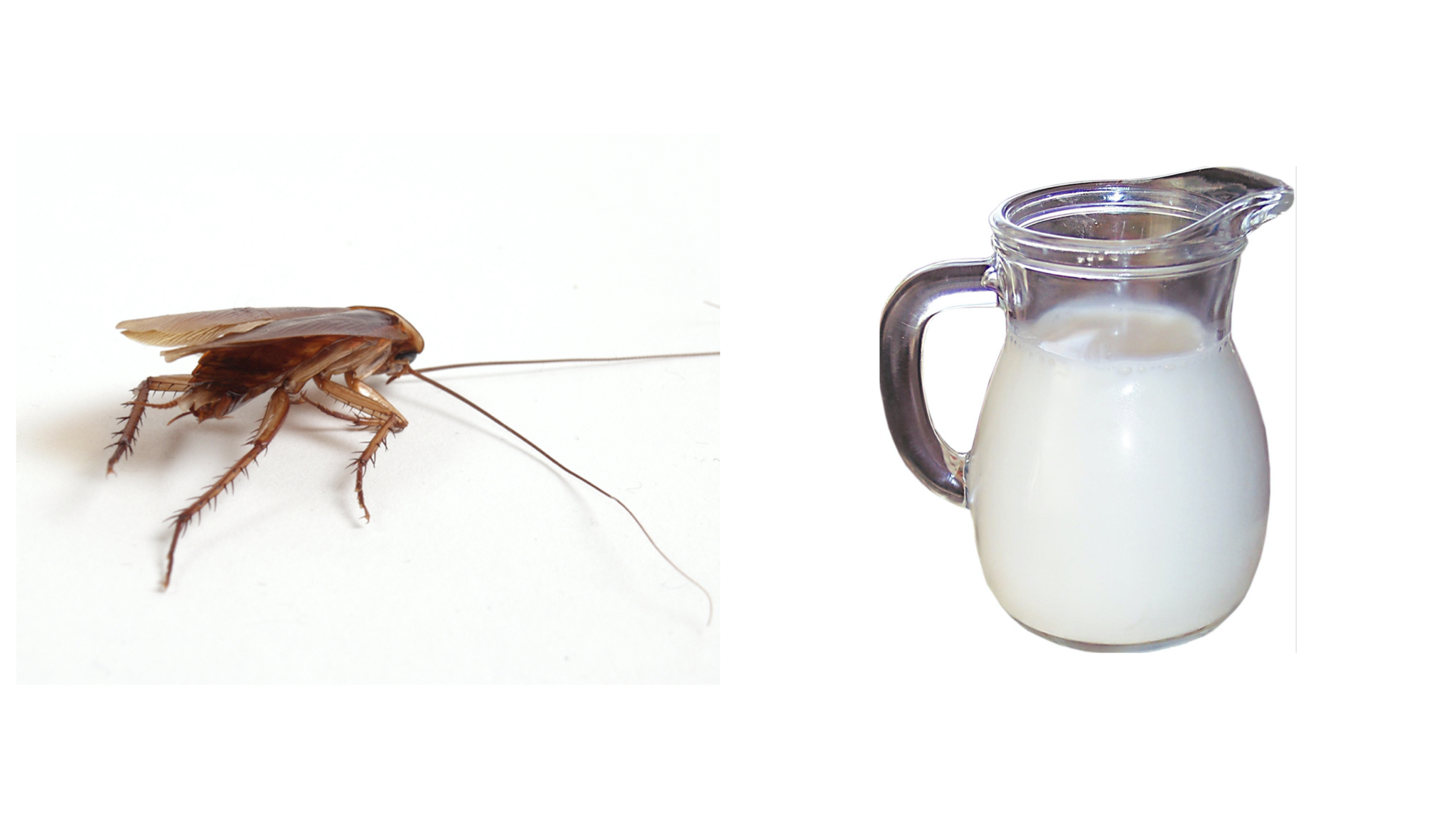 "Scientists Discovered Cockroach ""Milk"" And It's Healthy AF"