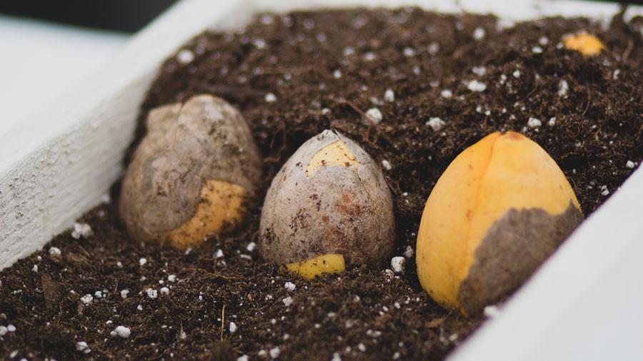 Avocado-Seed-01