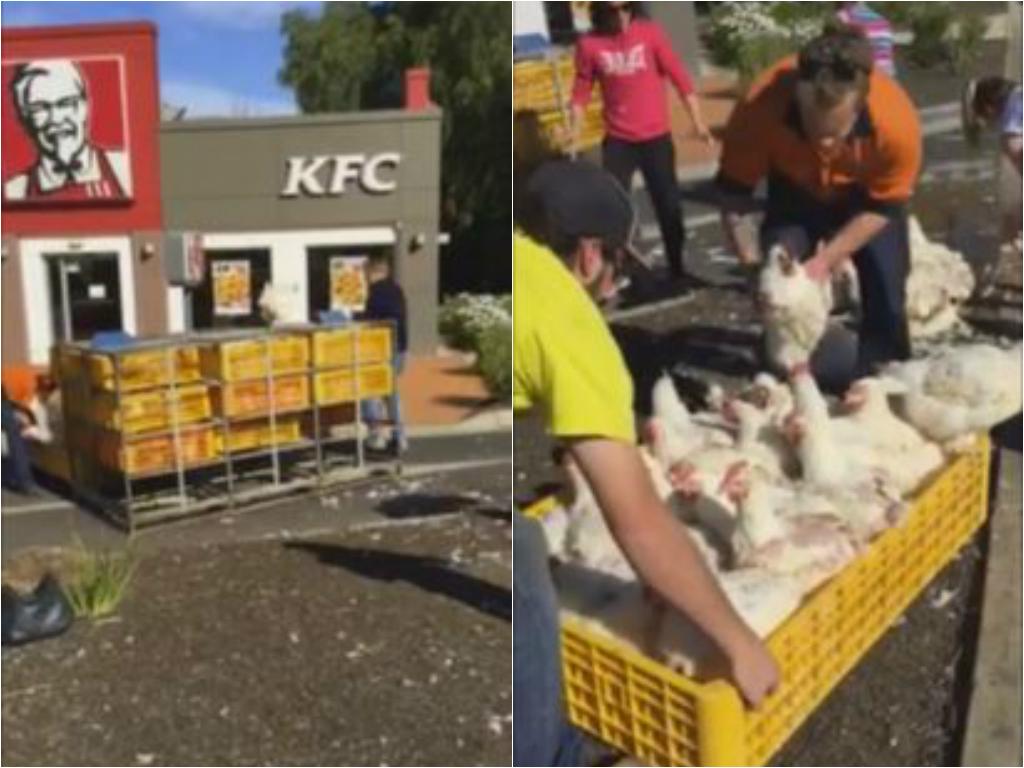 kfc chickens