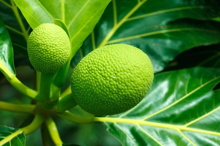breadfruit-pixabay