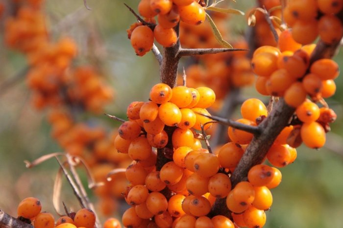 sea-buckthorn-pixabay