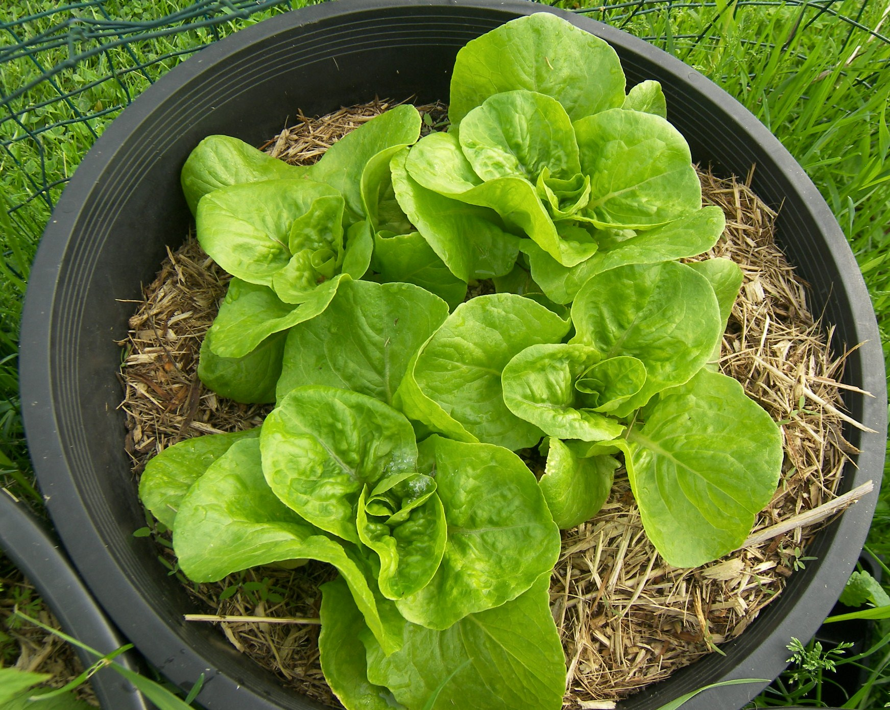bibb-lettuce-growing-2