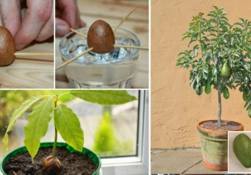 how-to-grow-your-own-avocado-tree-from-seed