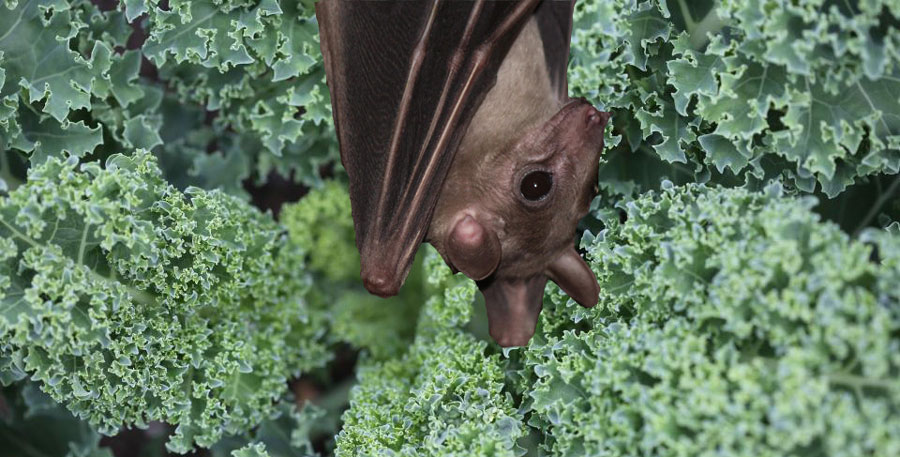 Recently, a bat was also found dead inside a bag of salad