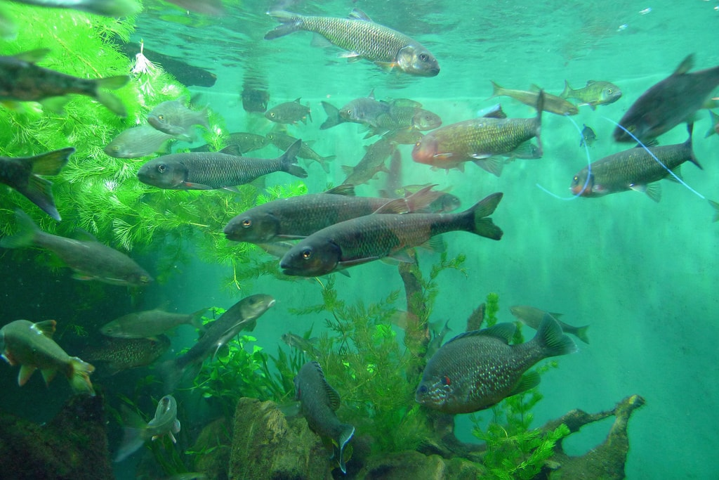 invasive atlantic salmon escape