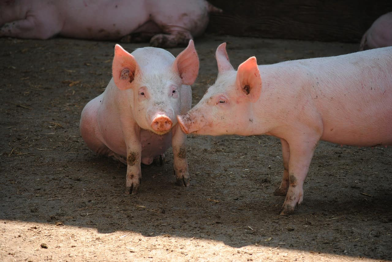 low-fat pigs