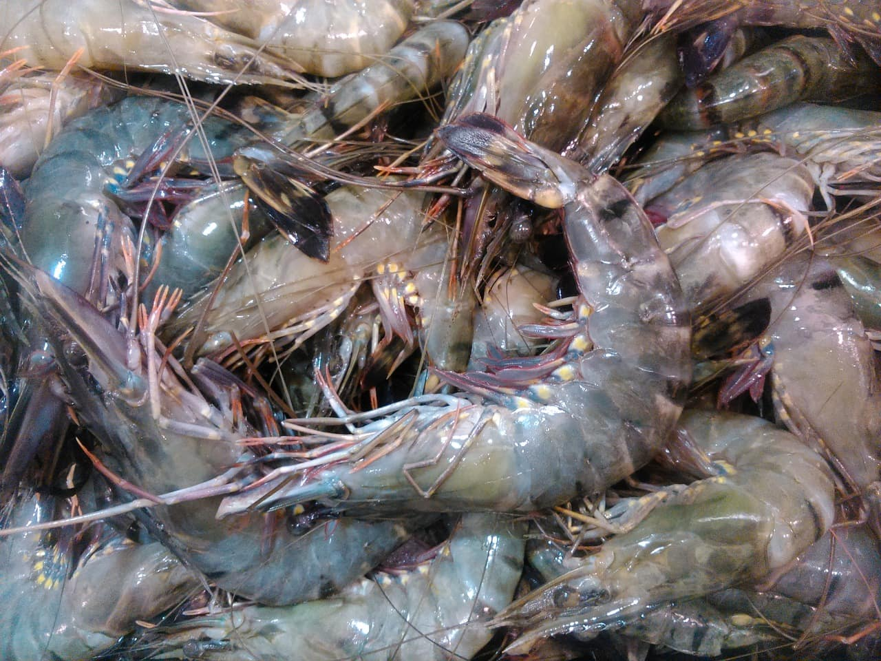 shrimp industry